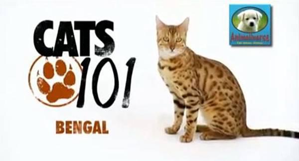 cat101bengal