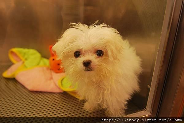 瑪爾濟斯幼犬