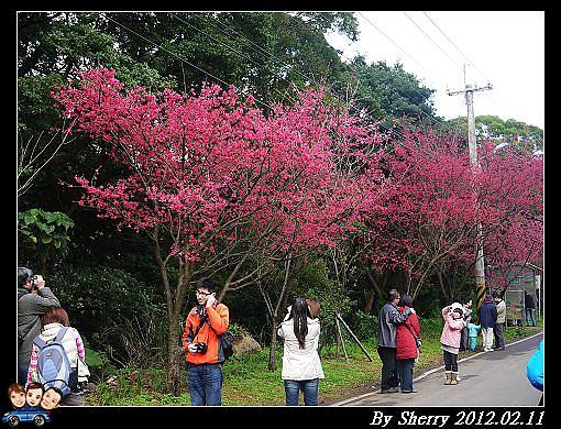20120211滬尾櫻花大道05.jpg