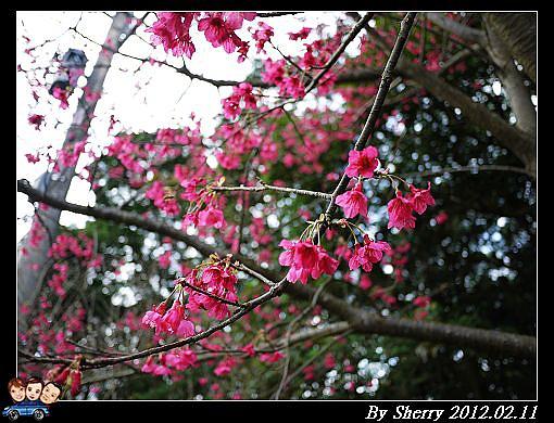 20120211滬尾櫻花大道09.jpg
