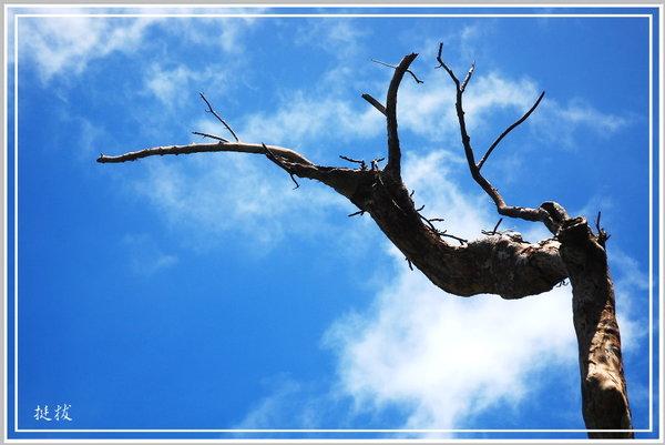 天池樹.jpg
