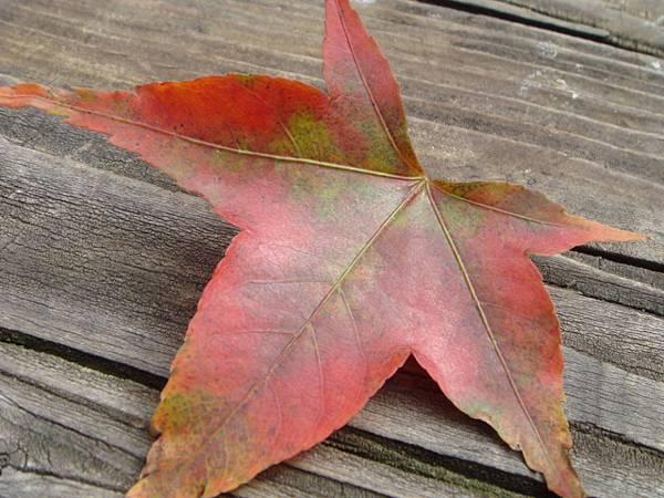 掉落的楓葉也很美