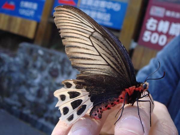 """果然是毛毛蟲變的~""""~噁心的蝴蝶..."""