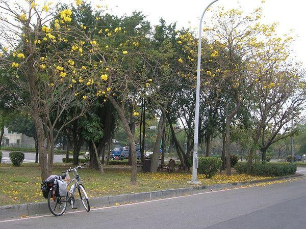 嘉義路邊整排的樹,很漂亮。