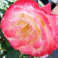 玫瑰 001.jpg