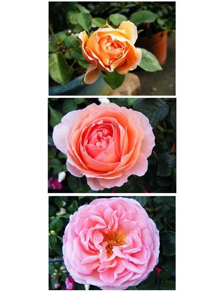 亞伯拉罕 達比 花包到盛開.jpg