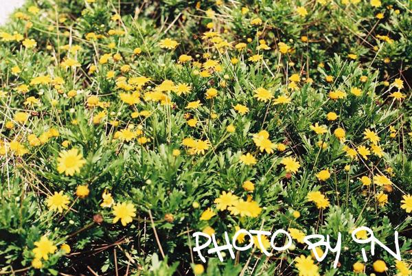 Canon FTb_F1000007_小黃花們.JPG