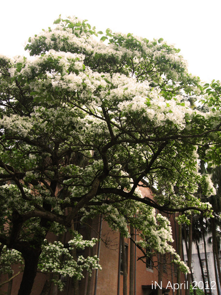 April-Chionanthus retusus