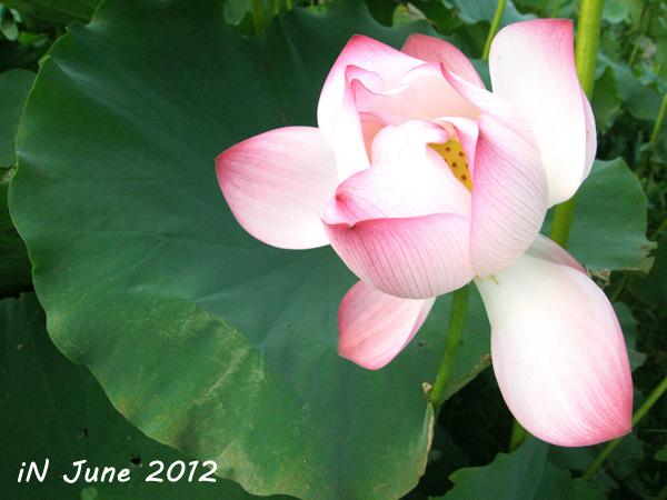 June-lotus