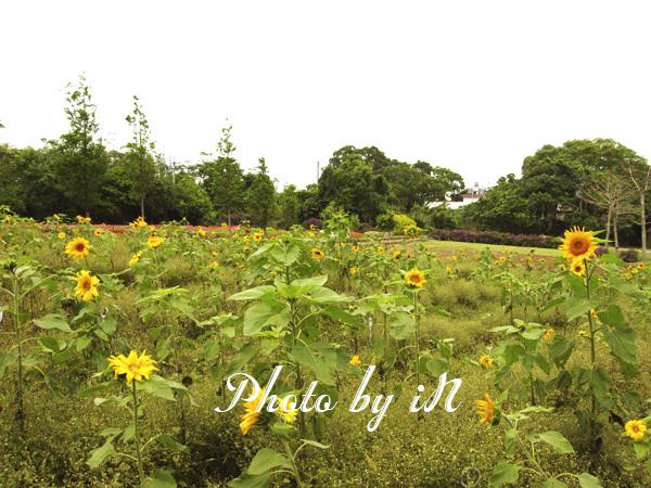 富田花園農場_向日葵園.JPG