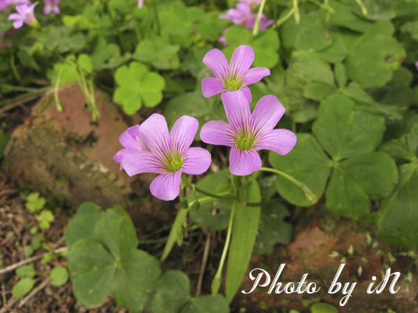 富田花園農場_紫色小花.JPG