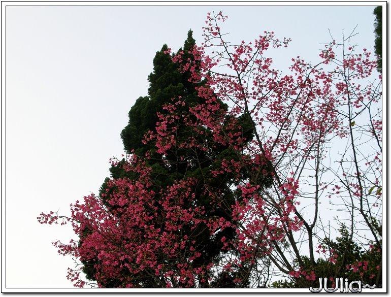 山櫻花 (2).jpg