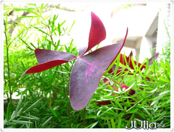 080424紫色酢漿草 (1).jpg