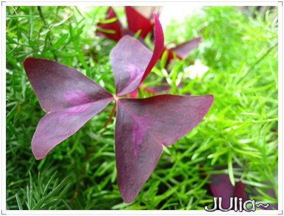 080424紫色酢漿草 (2).jpg