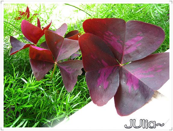 080424紫色酢漿草 (3).jpg