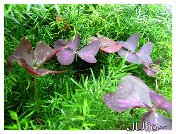 080424紫色酢漿草 (4).jpg