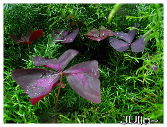 080424紫色酢漿草 (5).jpg