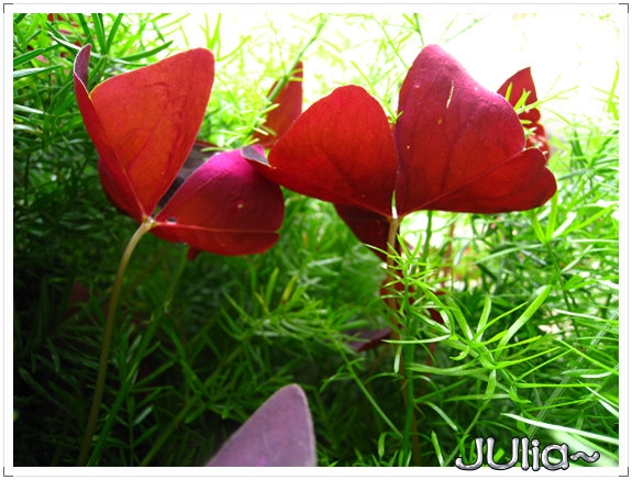 080424紫色酢漿草 (7).jpg