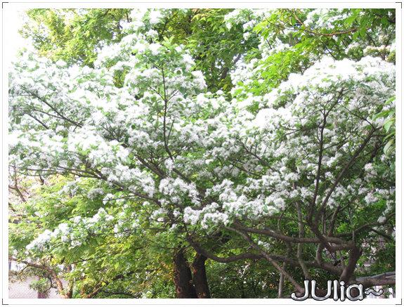流蘇。六月雪。 (5).jpg