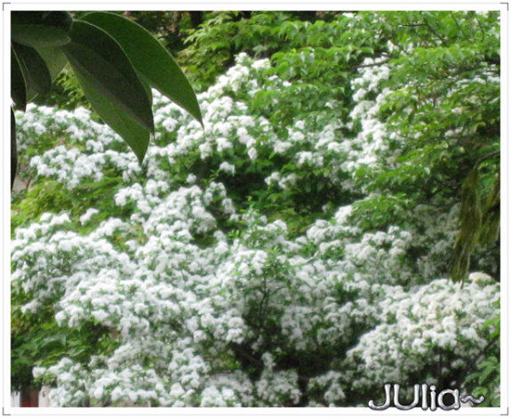 流蘇。六月雪。 (11).jpg
