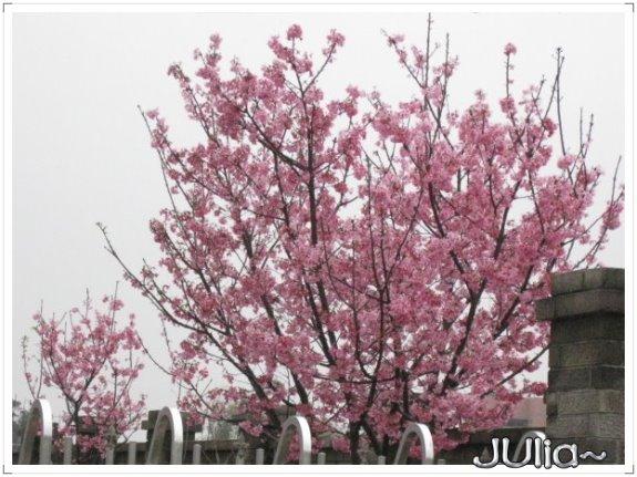也是。櫻花。.jpg