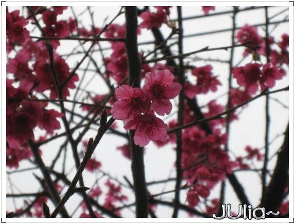 也是。櫻花。 (3).jpg