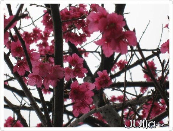 也是。櫻花。 (4).jpg
