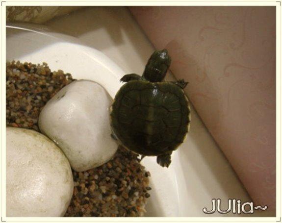 巴西烏龜.jpg