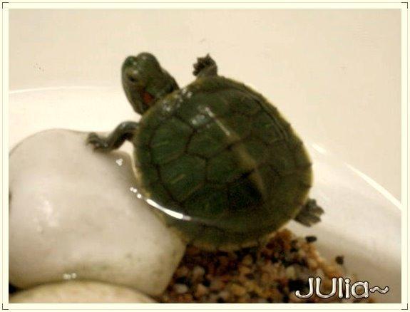 巴西烏龜 (1).jpg