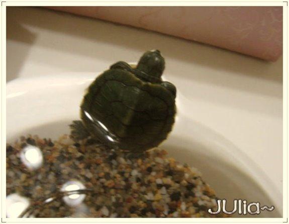 巴西烏龜 (2).jpg