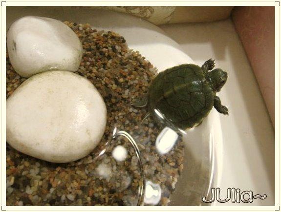 巴西烏龜 (4).jpg