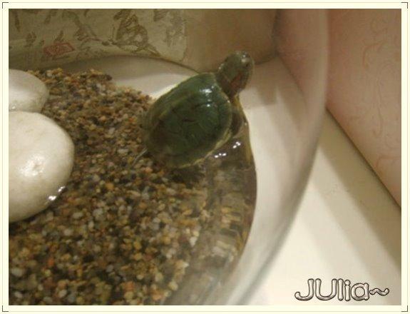 巴西烏龜 (5).jpg