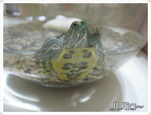 巴西烏龜 (6).jpg