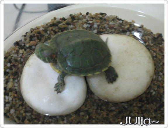巴西烏龜 (8).jpg