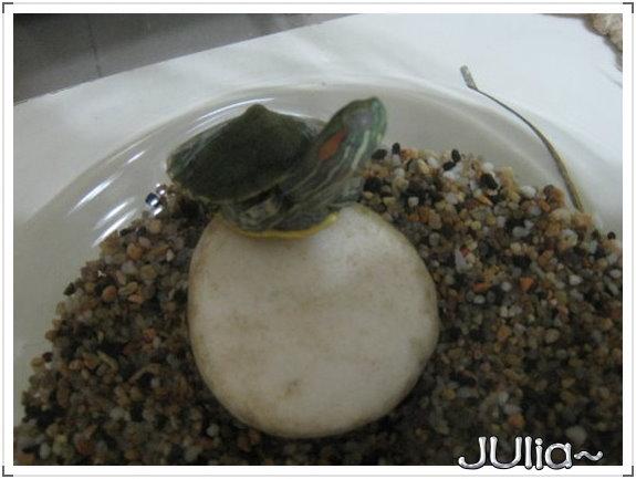 巴西烏龜 (9).jpg