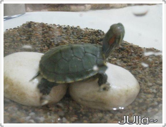 巴西烏龜 (10).jpg