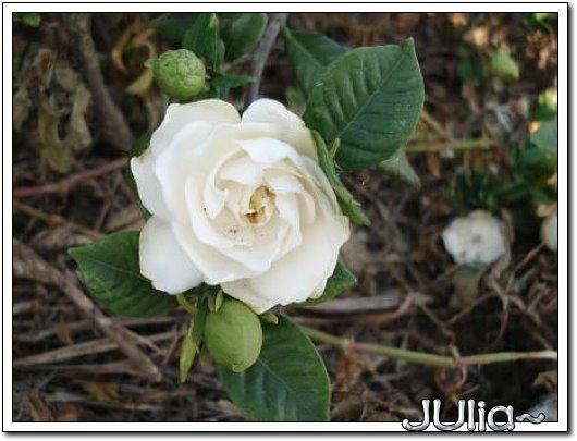 070515梔子花。白花瓣。.jpg
