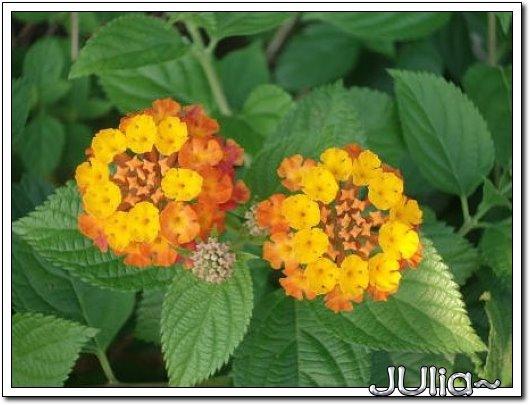 070515梔子花。白花瓣。 (2).jpg