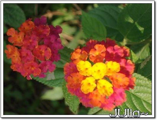 070515梔子花。白花瓣。 (3).jpg