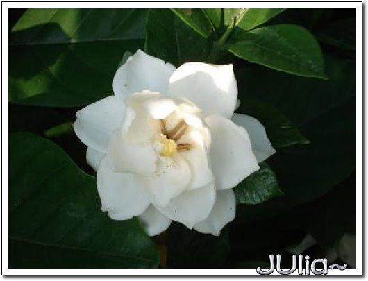 070515梔子花。白花瓣。 (4).jpg