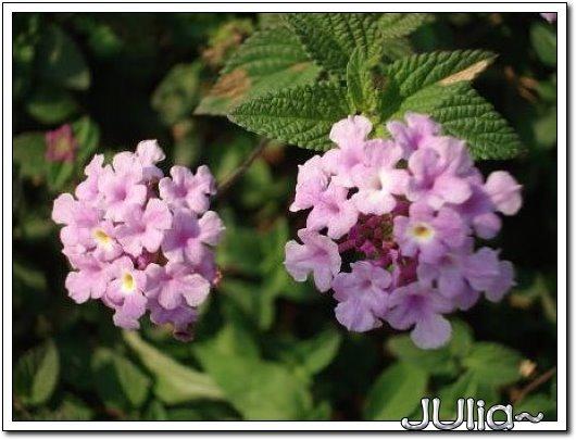 070515梔子花。白花瓣。 (5).jpg