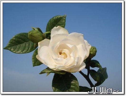 070515梔子花。白花瓣。 (7).jpg