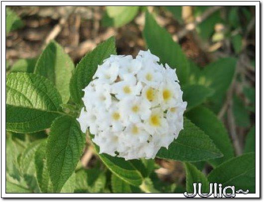 070515梔子花。白花瓣。 (8).jpg