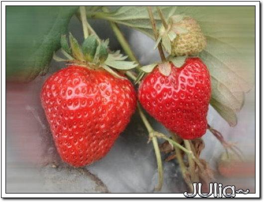 070327(苗栗)大湖採草莓 (4).jpg
