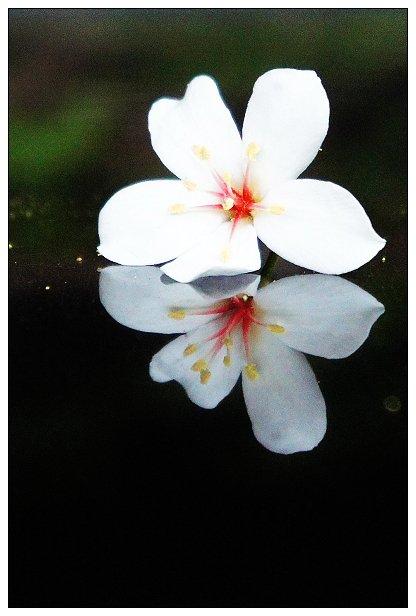 2011土城桐花-01.jpg