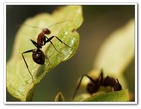 大頭蟻12.jpg