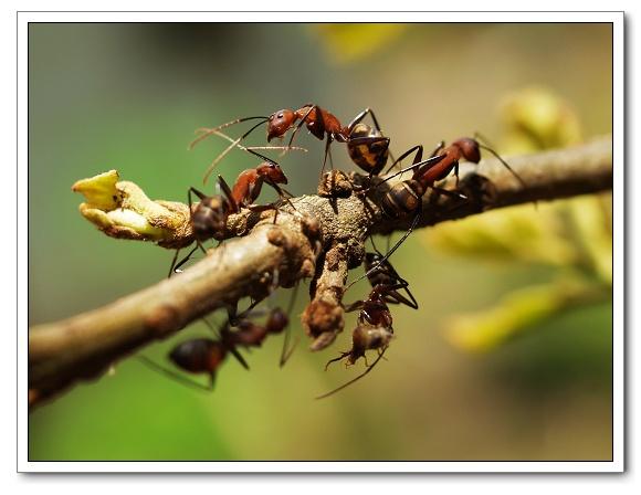 大頭蟻11.jpg