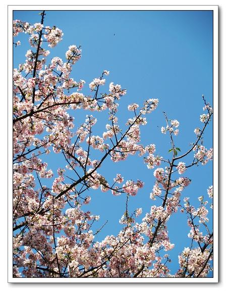元天宮櫻花-花群05.jpg