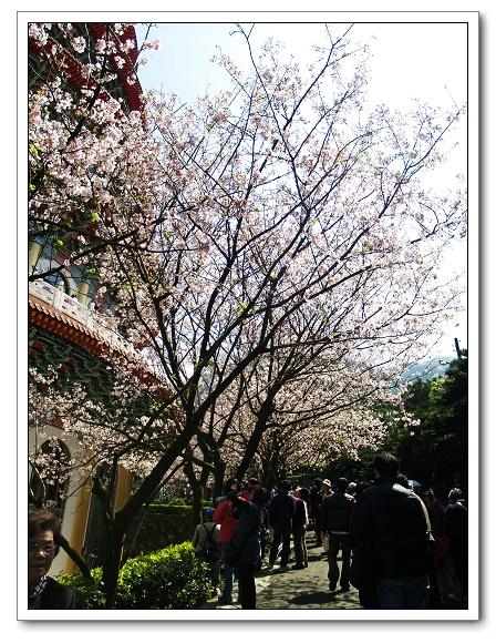 元天宮櫻花-花群06.jpg