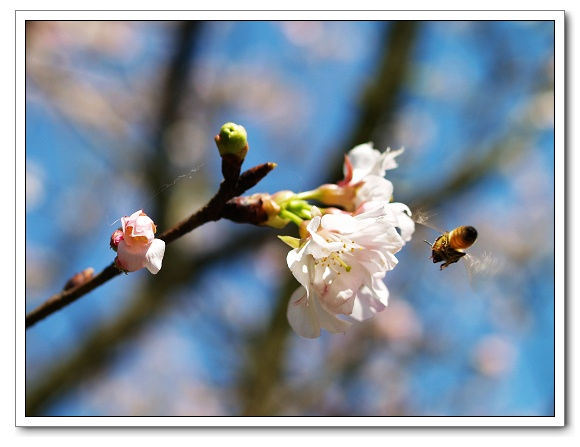 元天宮櫻花-蜜蜂05.jpg